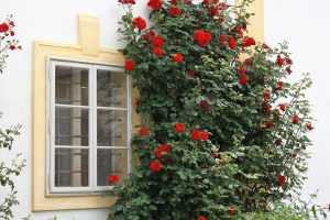 backyard-garden-climbing-rose