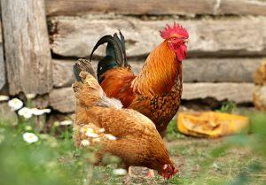 free-range-chicken-farming