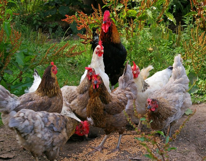 Free Range Chicken Farming Tips