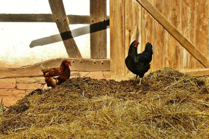 free range chickens - hen and rooster