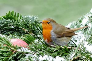 robin in a snow covered garden tree